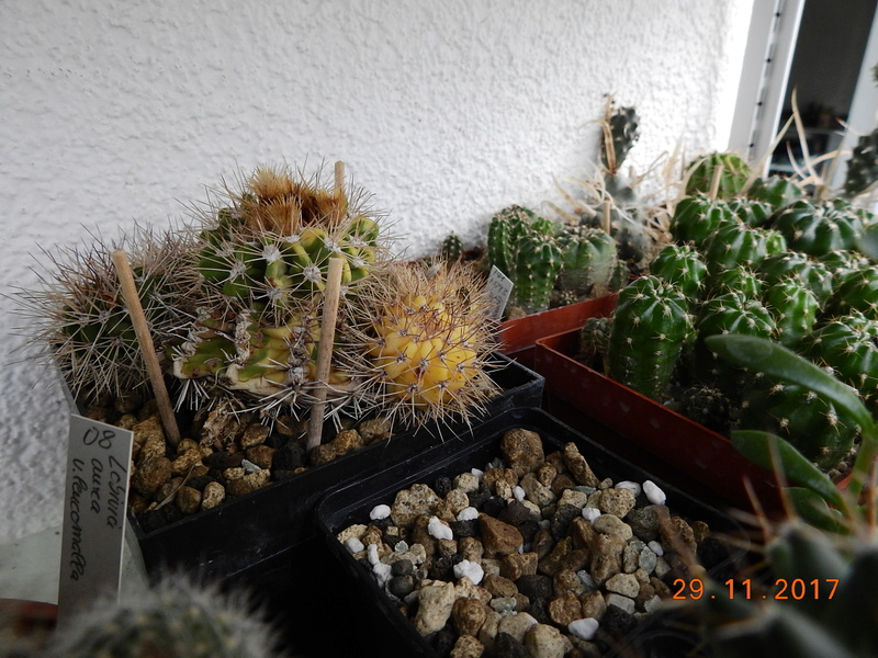 Cacti and Sukkulent in Köln, every day new flowers in the greenhouse Part 181 Bild_649
