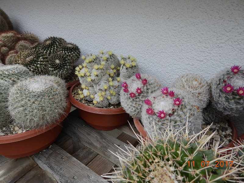 Cacti and Sukkulent in Köln, every day new flowers in the greenhouse Part 181 Bild_658
