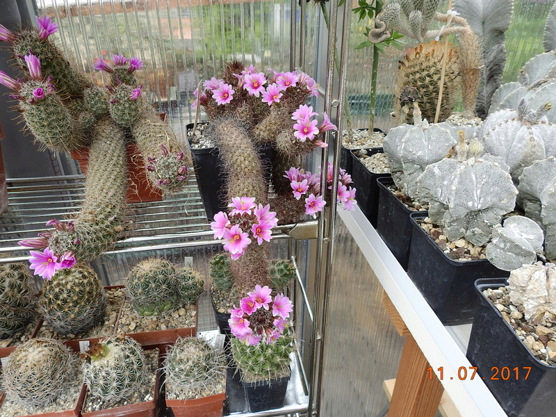 Cacti and Sukkulent in Köln, every day new flowers in the greenhouse Part 181 Bild_660
