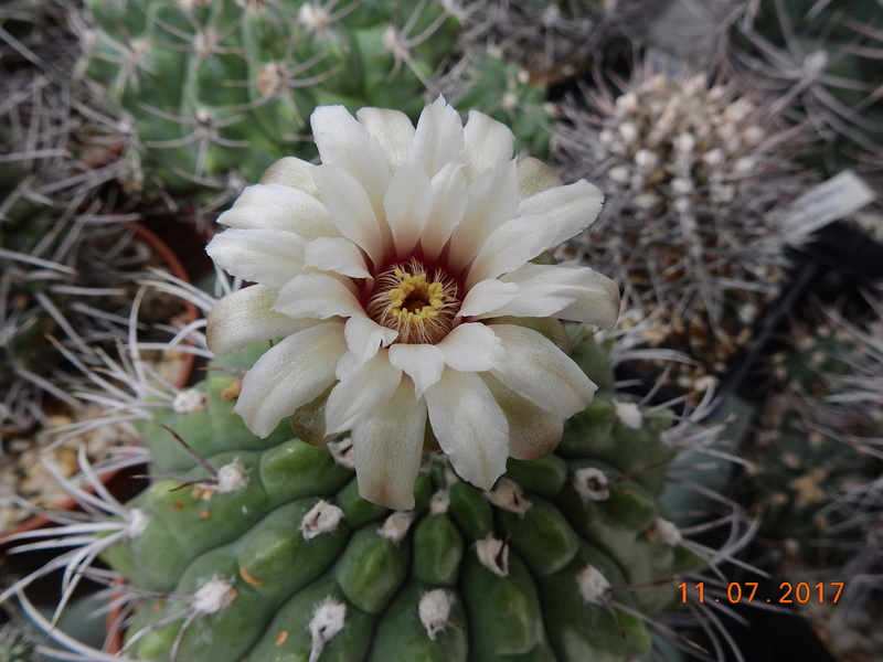 Cacti and Sukkulent in Köln, every day new flowers in the greenhouse Part 181 Bild_667