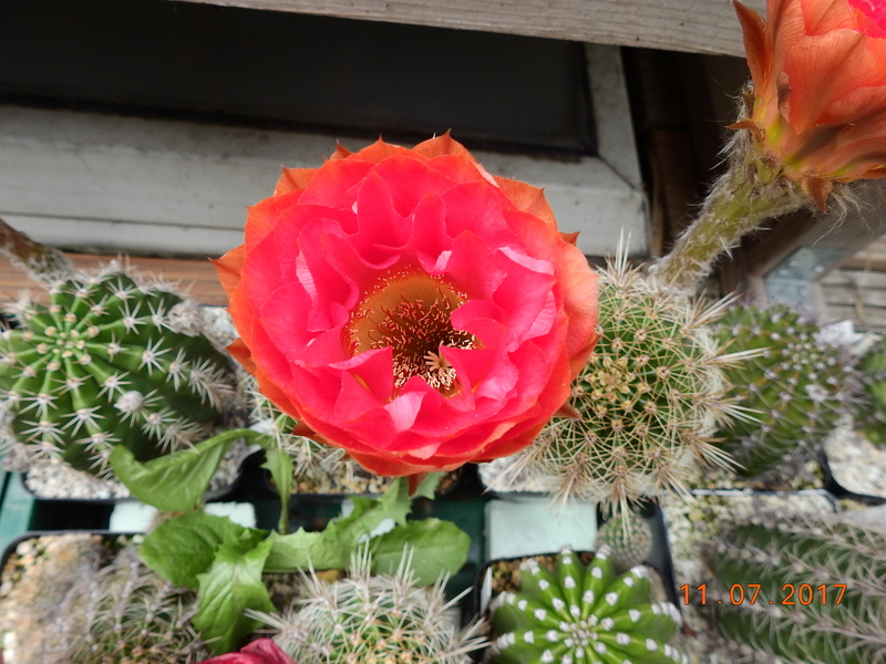 Cacti and Sukkulent in Köln, every day new flowers in the greenhouse Part 181 Bild_668