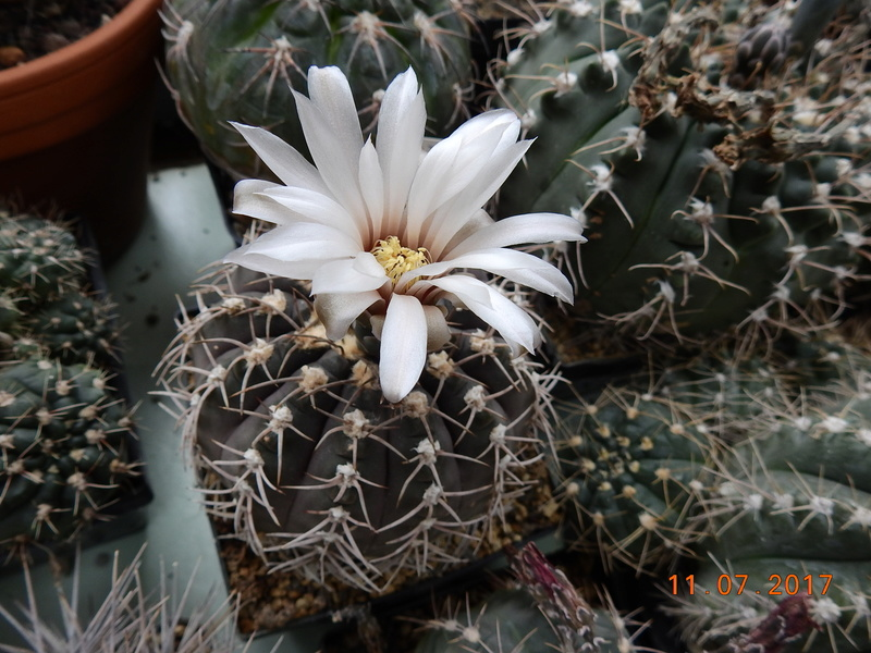 Cacti and Sukkulent in Köln, every day new flowers in the greenhouse Part 181 Bild_673