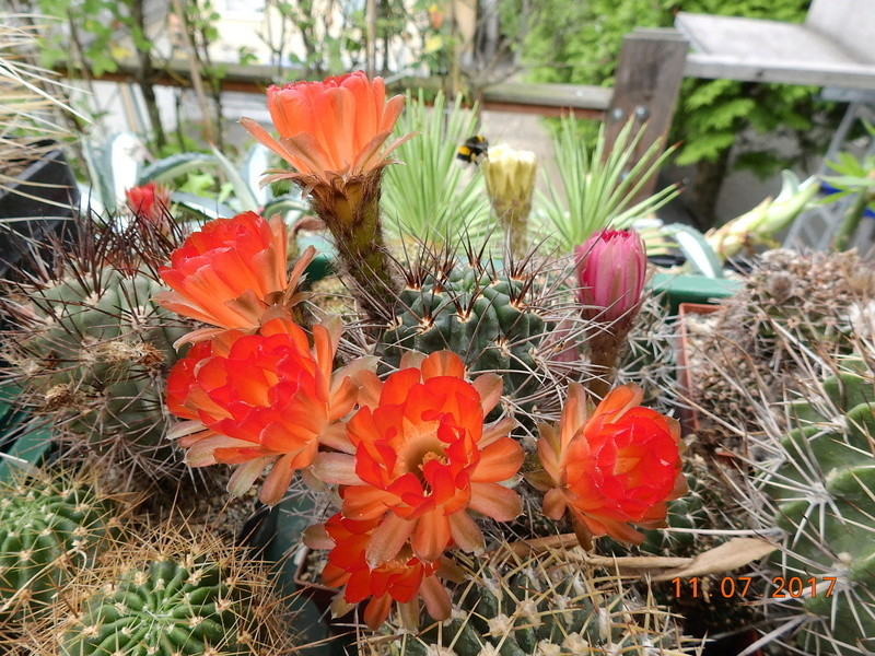 Cacti and Sukkulent in Köln, every day new flowers in the greenhouse Part 181 Bild_682