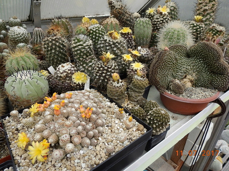 Cacti and Sukkulent in Köln, every day new flowers in the greenhouse Part 181 Bild_684