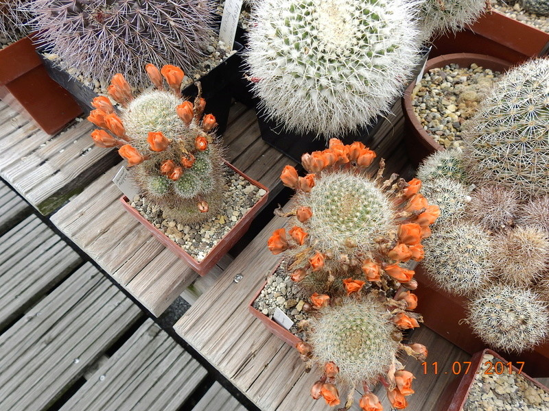 Cacti and Sukkulent in Köln, every day new flowers in the greenhouse Part 181 Bild_685
