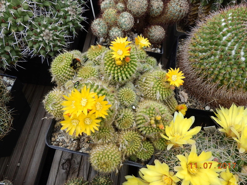 Cacti and Sukkulent in Köln, every day new flowers in the greenhouse Part 181 Bild_686