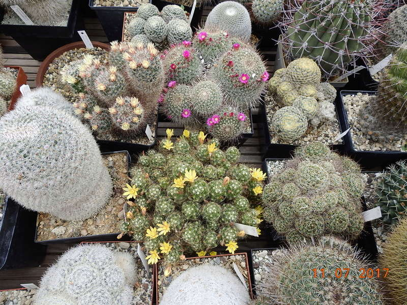 Cacti and Sukkulent in Köln, every day new flowers in the greenhouse Part 181 Bild_691