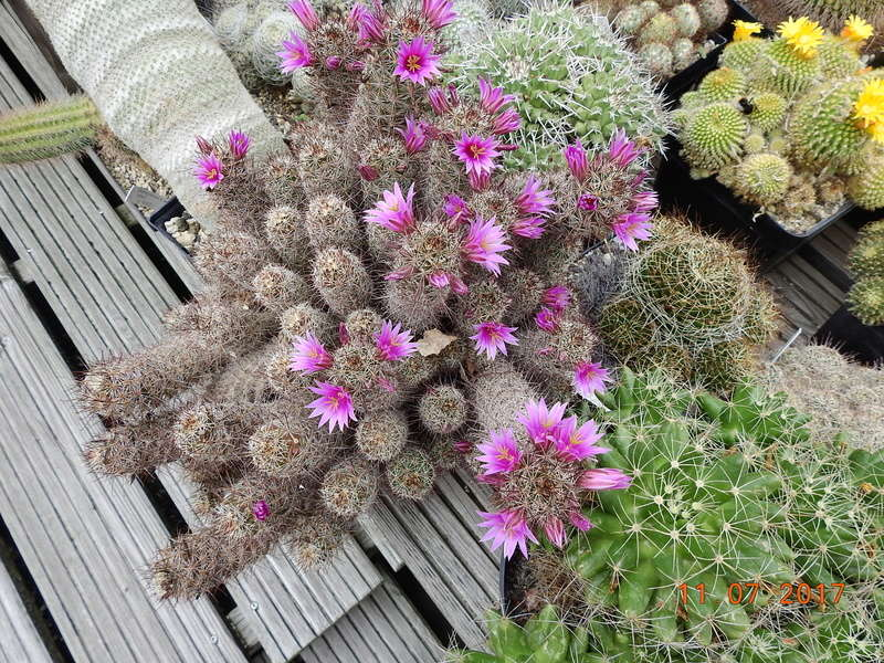 Cacti and Sukkulent in Köln, every day new flowers in the greenhouse Part 181 Bild_695
