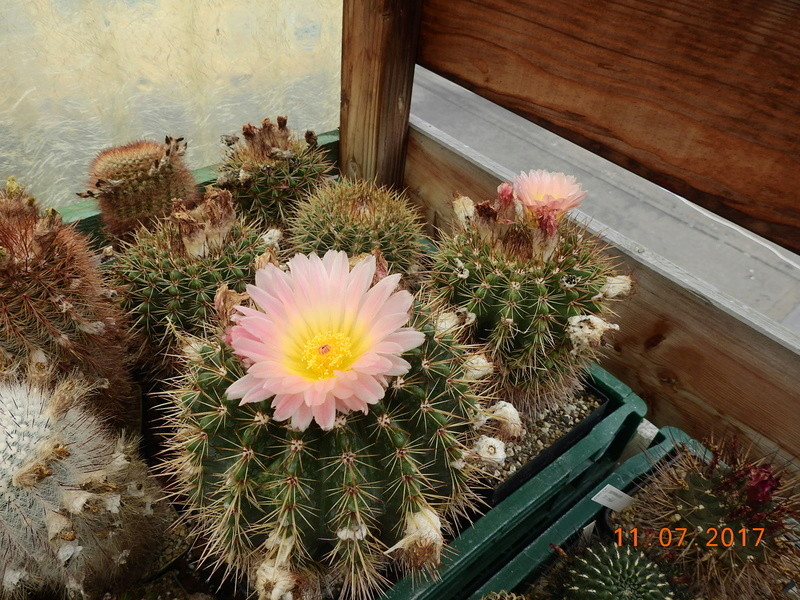 Cacti and Sukkulent in Köln, every day new flowers in the greenhouse Part 181 Bild_705