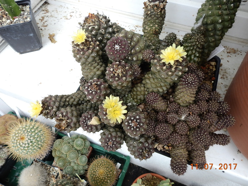 Cacti and Sukkulent in Köln, every day new flowers in the greenhouse Part 181 Bild_714