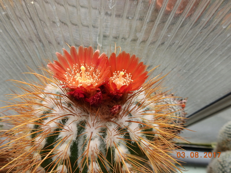Cacti and Sukkulent in Köln, every day new flowers in the greenhouse Part 181 Bild_734
