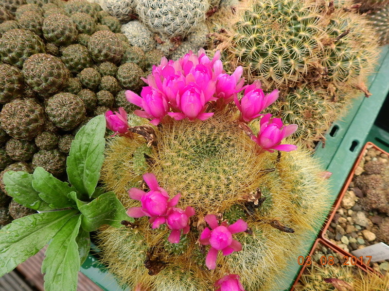 Cacti and Sukkulent in Köln, every day new flowers in the greenhouse Part 181 Bild_735
