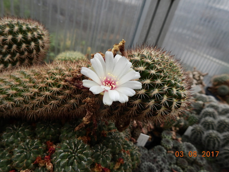 Cacti and Sukkulent in Köln, every day new flowers in the greenhouse Part 181 Bild_738