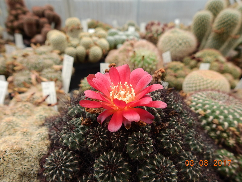 Cacti and Sukkulent in Köln, every day new flowers in the greenhouse Part 181 Bild_739