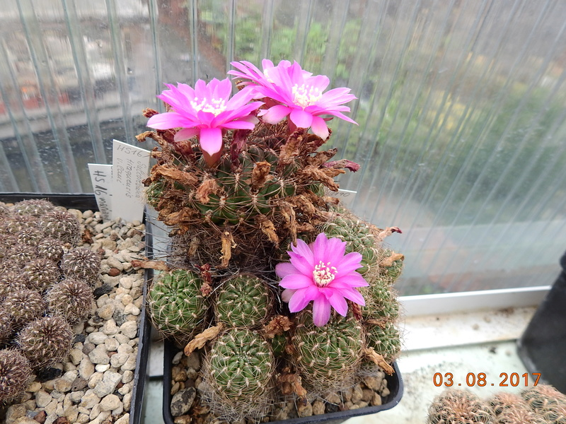 Cacti and Sukkulent in Köln, every day new flowers in the greenhouse Part 181 Bild_740