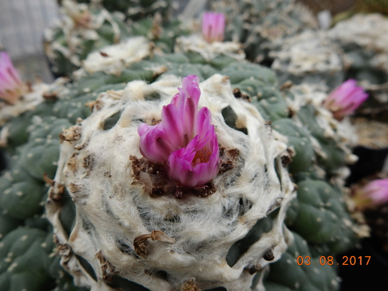 Cacti and Sukkulent in Köln, every day new flowers in the greenhouse Part 181 Bild_745