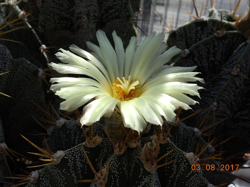 Cacti and Sukkulent in Köln, every day new flowers in the greenhouse Part 181 Bild_749