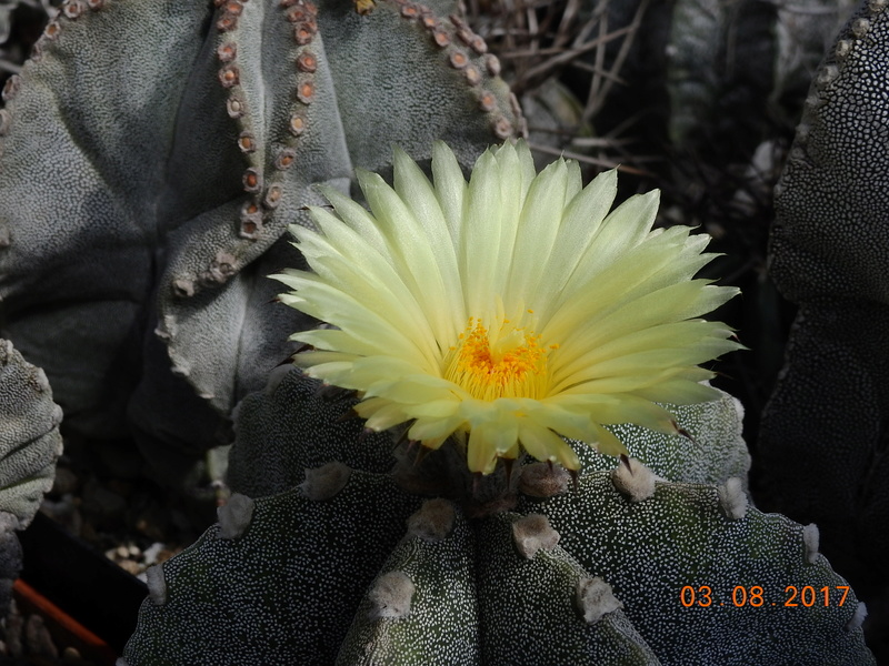 Cacti and Sukkulent in Köln, every day new flowers in the greenhouse Part 181 Bild_750