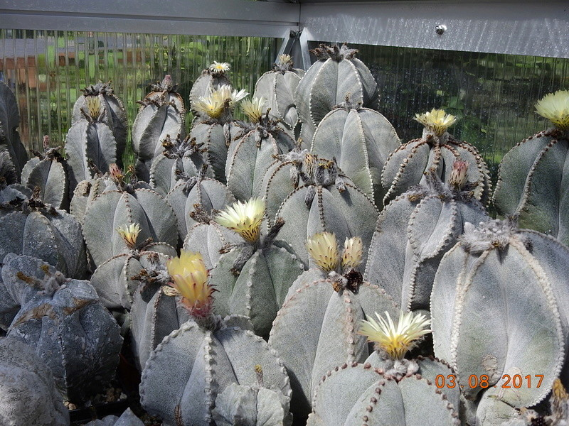 Cacti and Sukkulent in Köln, every day new flowers in the greenhouse Part 181 Bild_754