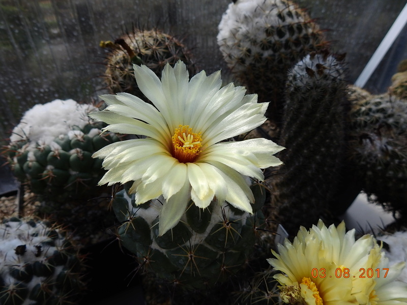 Cacti and Sukkulent in Köln, every day new flowers in the greenhouse Part 182 Bild_756