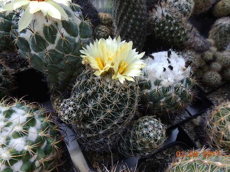 Cacti and Sukkulent in Köln, every day new flowers in the greenhouse Part 182 Bild_758