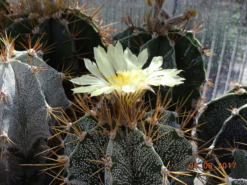 Cacti and Sukkulent in Köln, every day new flowers in the greenhouse Part 182 Bild_759