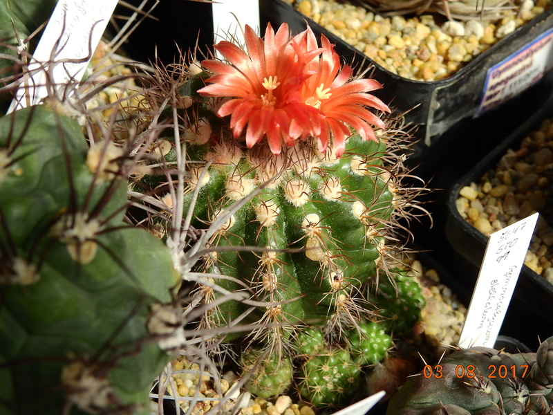 Cacti and Sukkulent in Köln, every day new flowers in the greenhouse Part 182 Bild_770