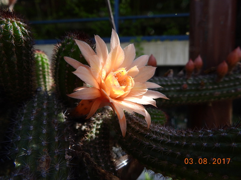 Cacti and Sukkulent in Köln, every day new flowers in the greenhouse Part 182 Bild_771