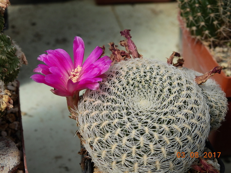 Cacti and Sukkulent in Köln, every day new flowers in the greenhouse Part 182 Bild_772