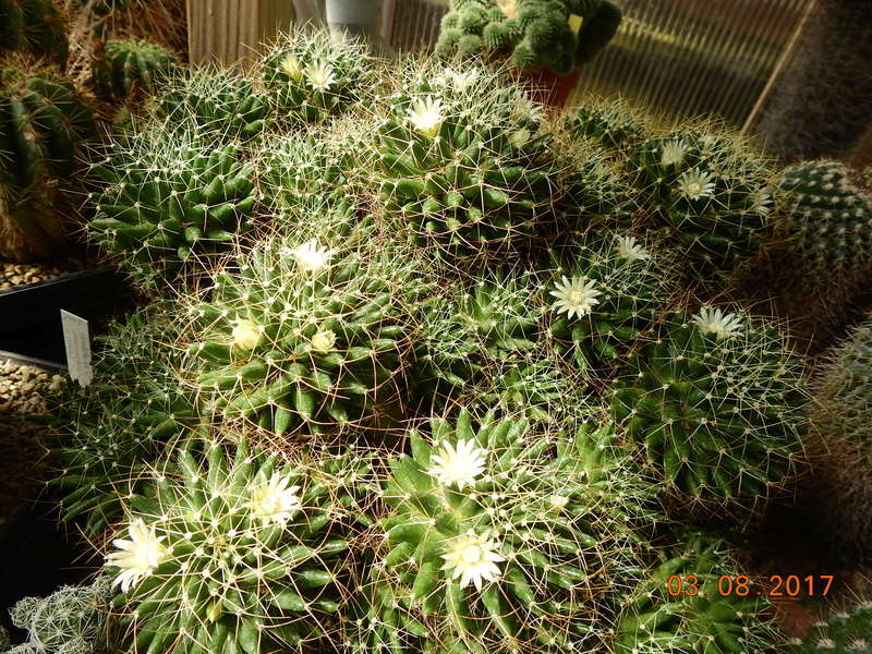 Cacti and Sukkulent in Köln, every day new flowers in the greenhouse Part 182 Bild_775
