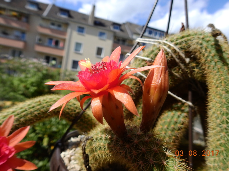 Cacti and Sukkulent in Köln, every day new flowers in the greenhouse Part 182 Bild_776