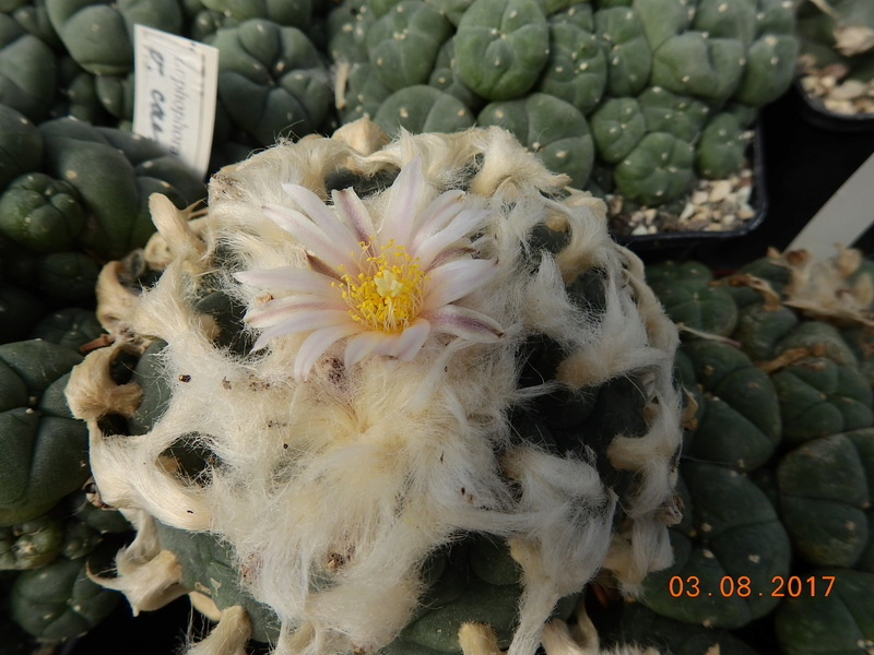 Cacti and Sukkulent in Köln, every day new flowers in the greenhouse Part 182 Bild_792