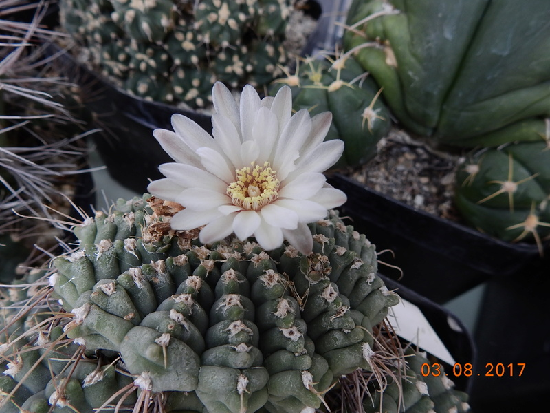 Cacti and Sukkulent in Köln, every day new flowers in the greenhouse Part 182 Bild_804