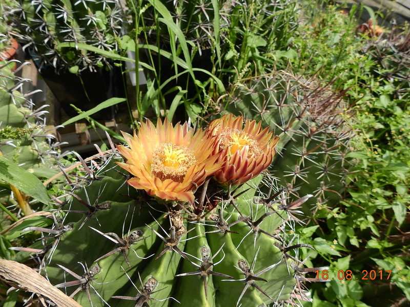 Cacti and Sukkulent in Köln, every day new flowers in the greenhouse Part 182 Bild_828