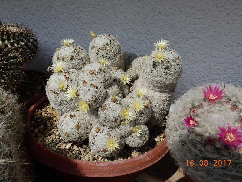 Cacti and Sukkulent in Köln, every day new flowers in the greenhouse Part 182 Bild_829