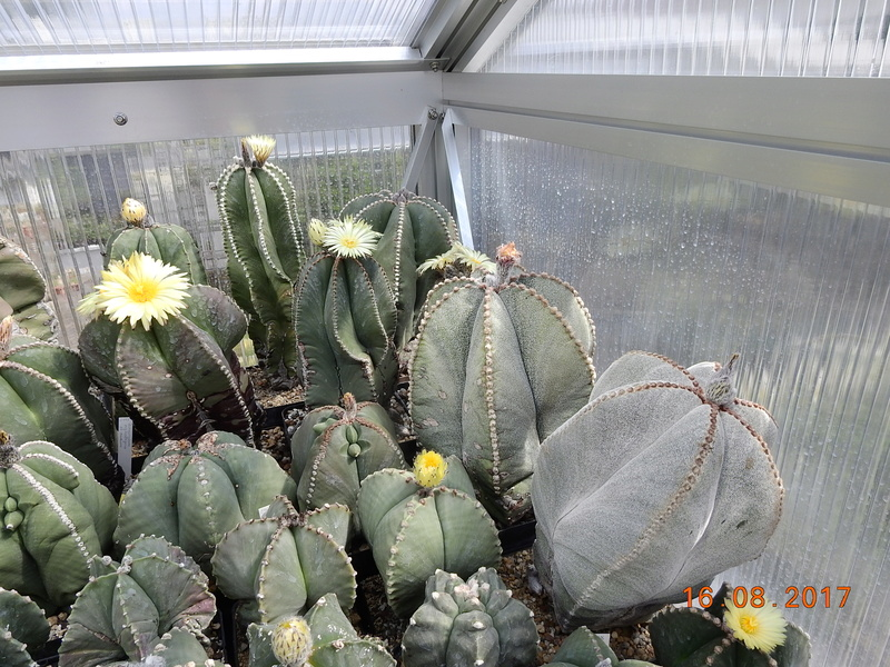 Cacti and Sukkulent in Köln, every day new flowers in the greenhouse Part 182 Bild_831