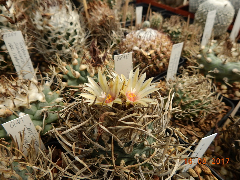 Cacti and Sukkulent in Köln, every day new flowers in the greenhouse Part 182 Bild_847