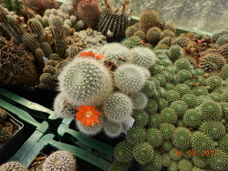 Cacti and Sukkulent in Köln, every day new flowers in the greenhouse Part 182 Bild_853