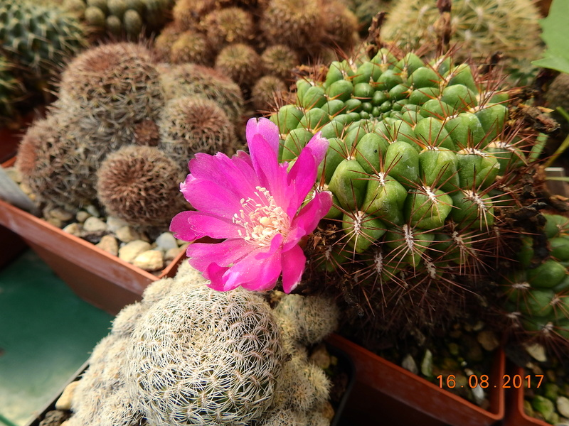 Cacti and Sukkulent in Köln, every day new flowers in the greenhouse Part 182 Bild_857