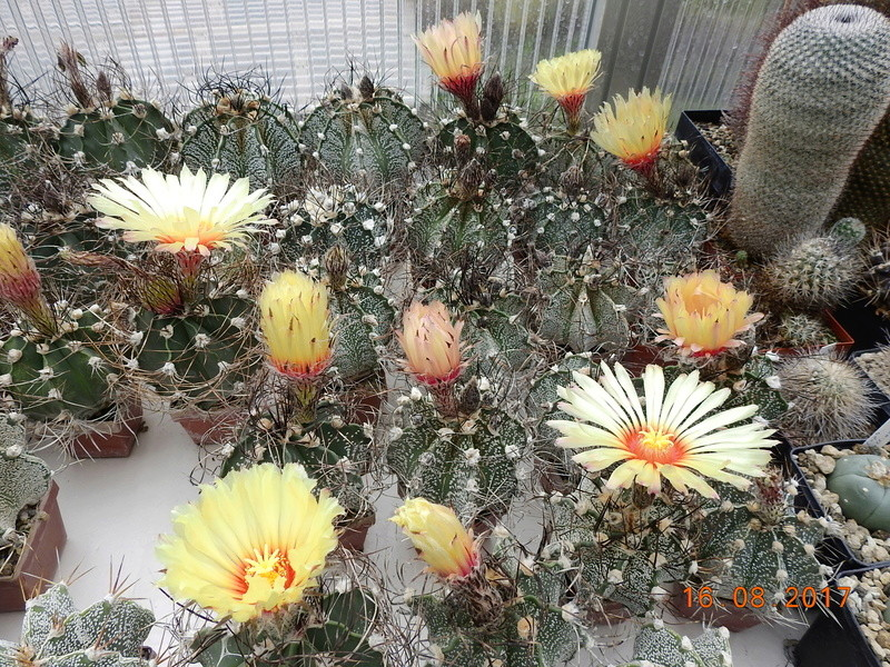 Cacti and Sukkulent in Köln, every day new flowers in the greenhouse Part 182 Bild_863