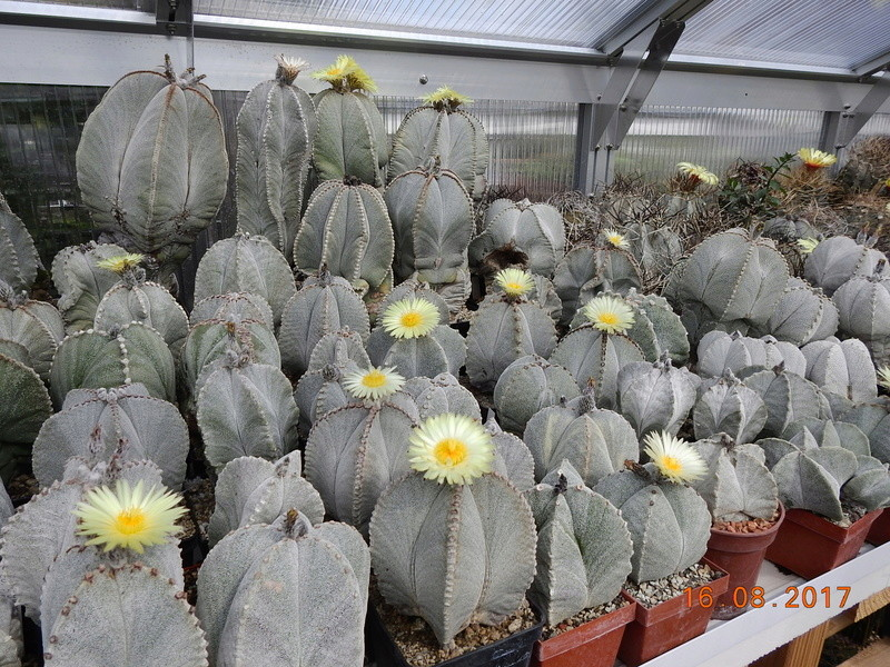 Cacti and Sukkulent in Köln, every day new flowers in the greenhouse Part 182 Bild_871