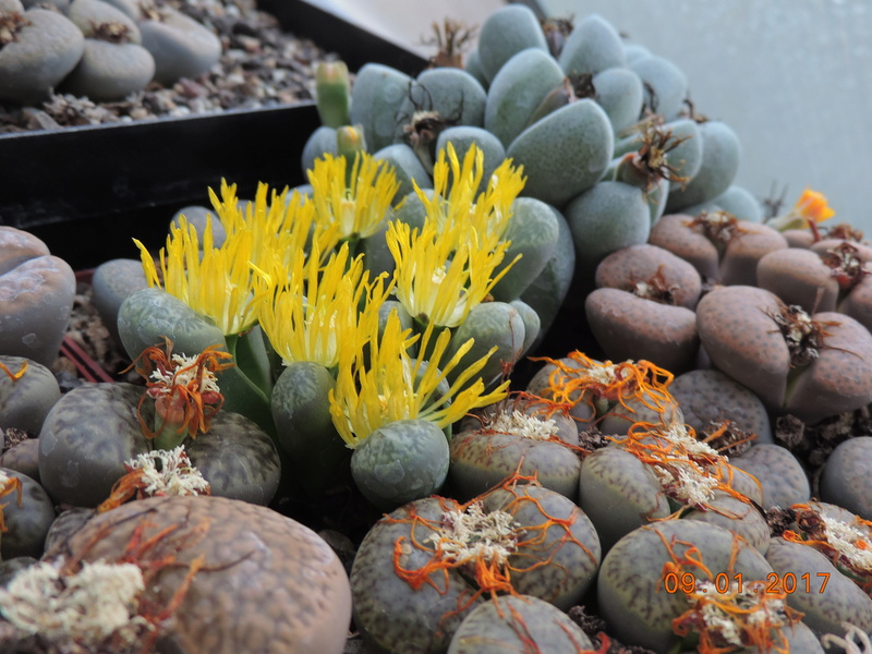Cacti and Sukkulent in Köln, every day new flowers in the greenhouse Part 182 Bild_888