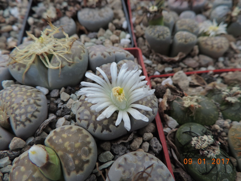 Cacti and Sukkulent in Köln, every day new flowers in the greenhouse Part 182 Bild_889