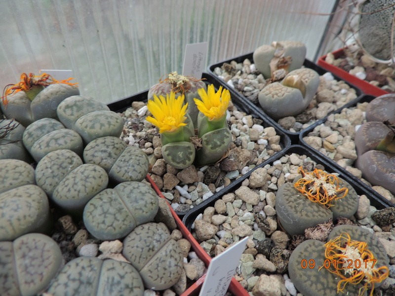 Cacti and Sukkulent in Köln, every day new flowers in the greenhouse Part 182 Bild_893