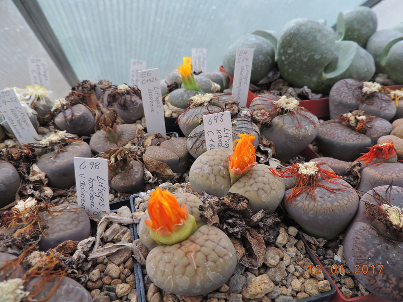 Cacti and Sukkulent in Köln, every day new flowers in the greenhouse Part 182 Bild_896