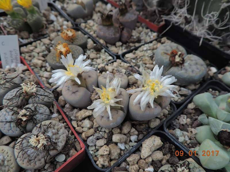 Cacti and Sukkulent in Köln, every day new flowers in the greenhouse Part 182 Bild_897
