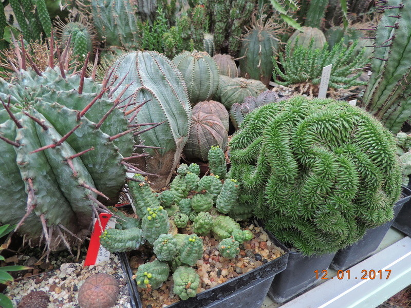 Cacti and Sukkulent in Köln, every day new flowers in the greenhouse Part 182 Bild_898