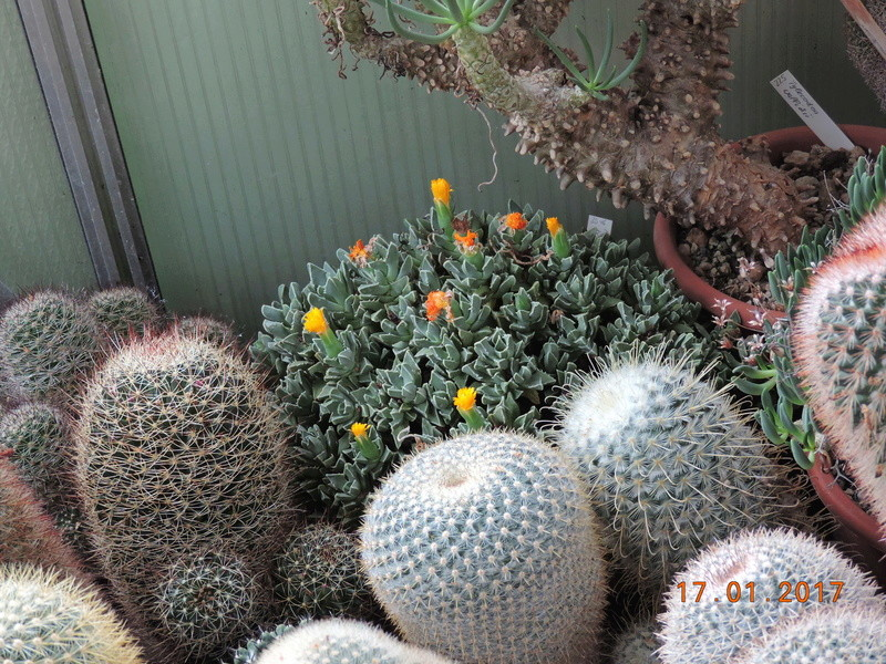 Cacti and Sukkulent in Köln, every day new flowers in the greenhouse Part 183 Bild_923