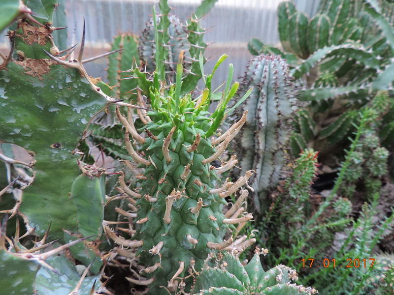 Cacti and Sukkulent in Köln, every day new flowers in the greenhouse Part 183 Bild_925