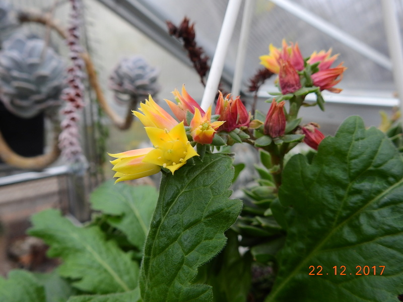 Cacti and Sukkulent in Köln, every day new flowers in the greenhouse Part 183 Bild_931